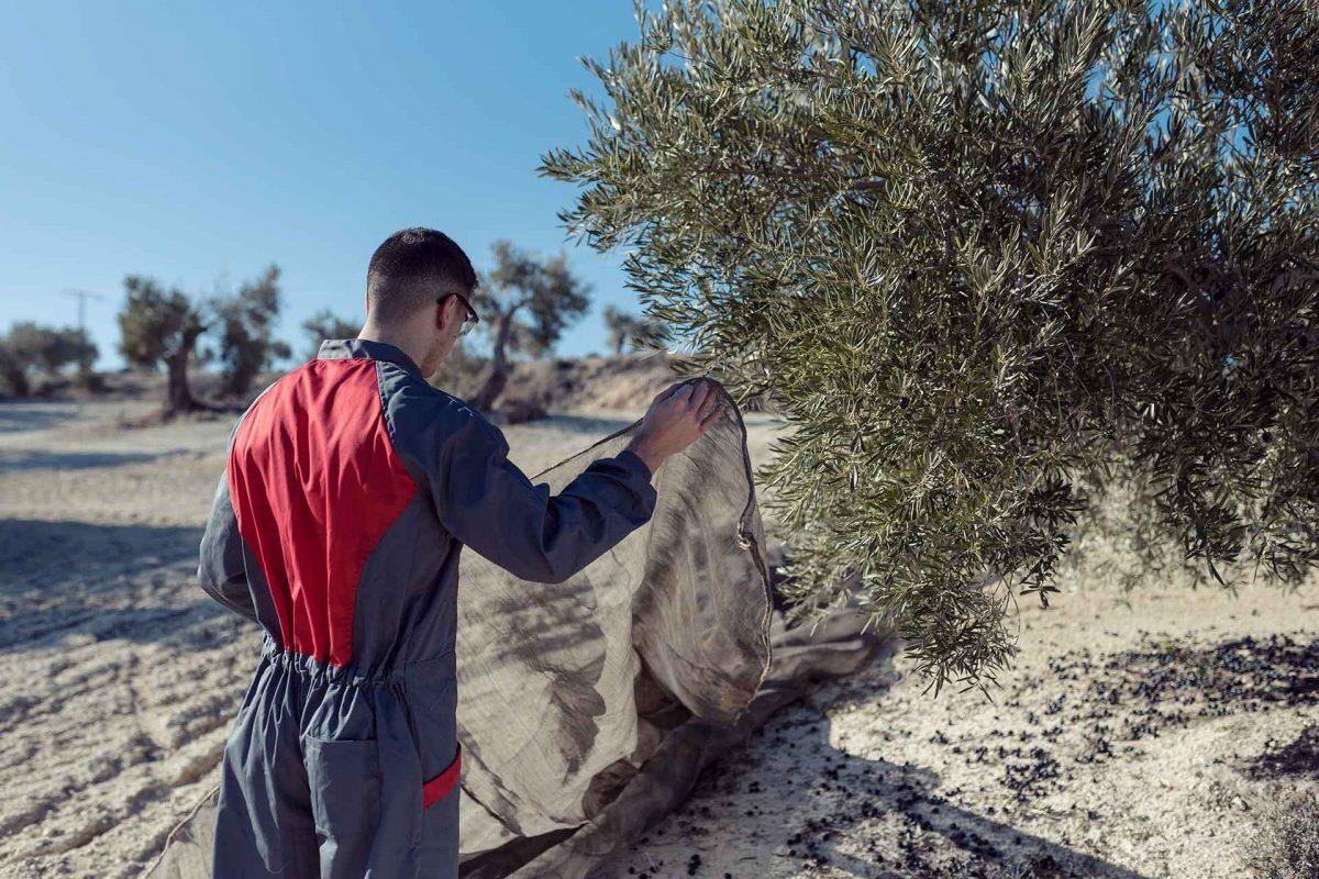 España impulsa un modelo de olivicultura innovador en Europa